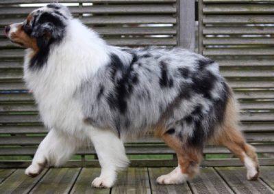 chiens-Berger-Australien-0837b922-7171-5504-7d20-eded5d2c619b