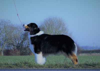 chiens-Berger-Australien-ab9effbe-840a-8924-8955-162f52e6b877_min