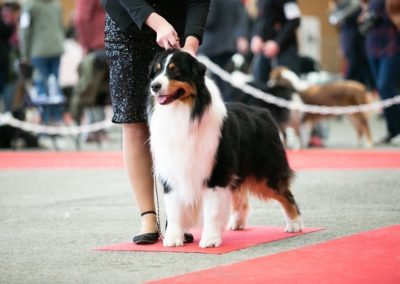 chiens-Berger-Australien-e499434a-046e-a964-9912-abf7c67fb2be_min